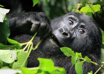 wild mountain gorilla 2
